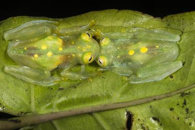 Glass Frogs, Ecuador-Pete Oxford-Photographic Print
