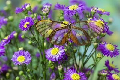 Glasswing Butterfly, Godyris Duilia-Darrell Gulin-Photographic Print