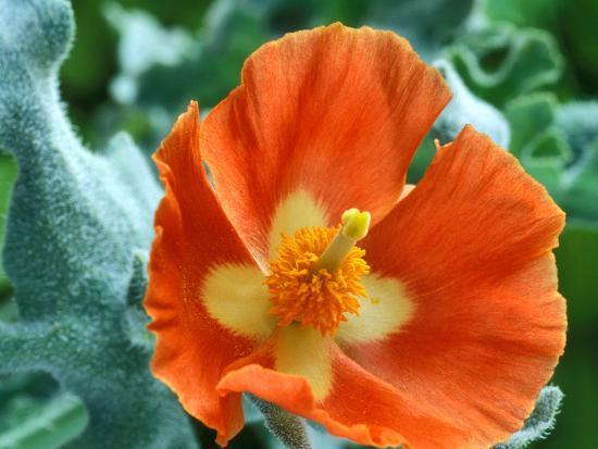 Glaucium Corniculatum, Close-up of Orange Flower Head-Chris Burrows-Photographic Print