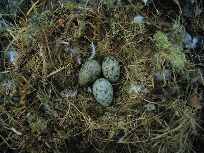 Glaucous-Winged Gull Nest with Three Eggs-Joel Sartore-Photographic Print