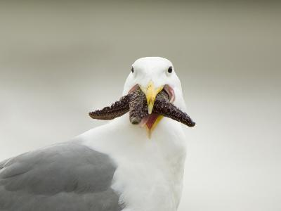 Glaucous-Winged Gull with Purple Sea Star, Stanley Park, British Columbia, Canada-Paul Colangelo-Photographic Print