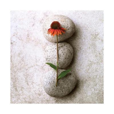 Coneflower On Stone