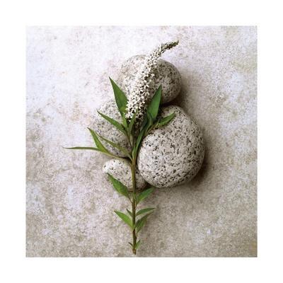 Gooseneck On Stone