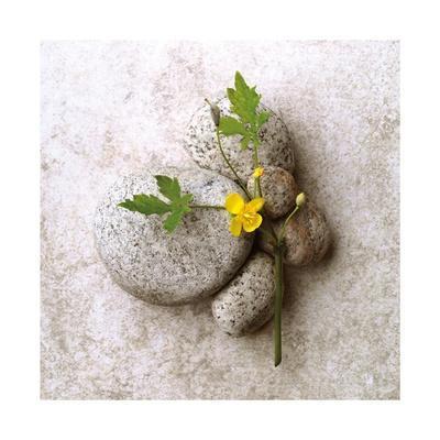 Poppy On Stone