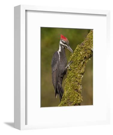 A Pileated Woodpecker (Dryocopus Pileatus) Perched on a Mossy Branch, Victoria Canada