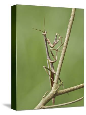 A Praying Mantis Perched on a Branch at the Mindo Loma Reserve in Northwest Ecuador