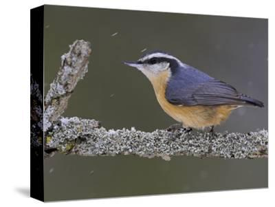 A Red-Breasted Nuthatch (Sitta Canadensis) Perches on a Branch, Toronto, Ontario, Canada