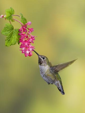 Anna's Hummingbird (Calypte Anna) Feeding at Red Currant Flower in Victoria, British Columbia by Glenn Bartley