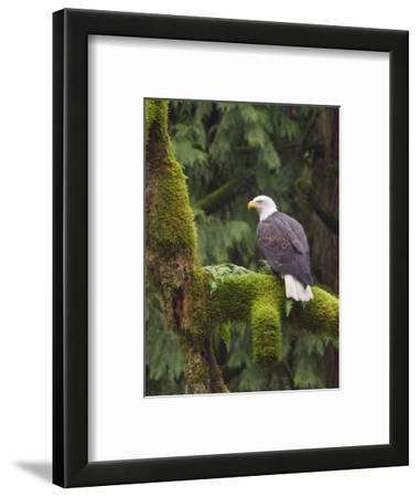 Bald Eagle (Haliaeetus Leucocephalus) Perched on a Branch, Victoria, BC, Canada