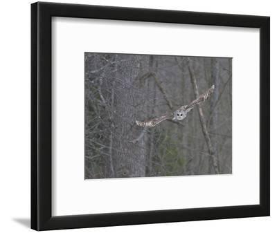Barred Owl (Strix Varia) Hunting for Prey, Ontario, Canada