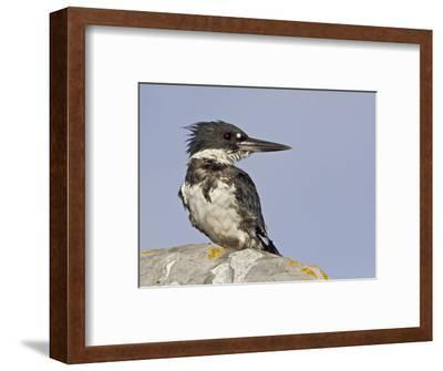 Belted Kingfisher (Ceryle Alcyon) Perched on a Rock with Wet Feathers after a Dive in Victoria