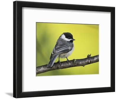 Black-Capped Chickadee (Poecile Atricapillus) Perched on a Branch, Ontario Canada