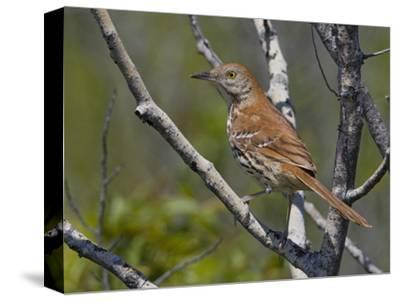 Brown Thrasher (Toxostoma Rufum) Perched on a Branch, Toronto, Ontario, Canada
