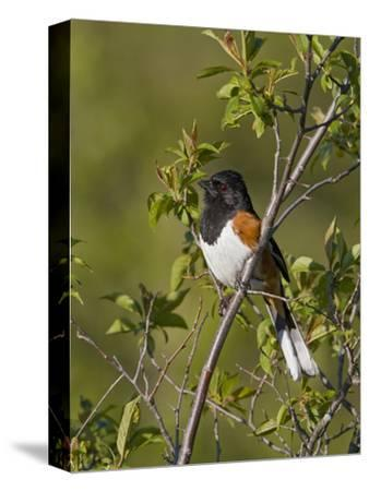 Eastern Towhee (Pipilo Erythrophthalmus) on a Branch in Ontario, Canada