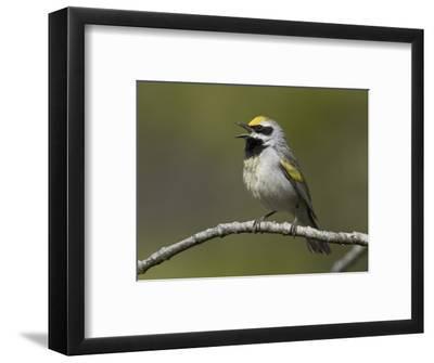 Golden-Winged Warbler (Vermivora Chrysoptera) Singing on a Branch, Ontario, Canada