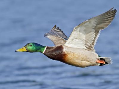 Male Mallard Duck (Anas Platyrhynchos) Flying, Victoria, BC, Canada by Glenn Bartley