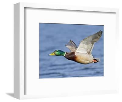 Male Mallard Duck (Anas Platyrhynchos) Flying, Victoria, BC, Canada