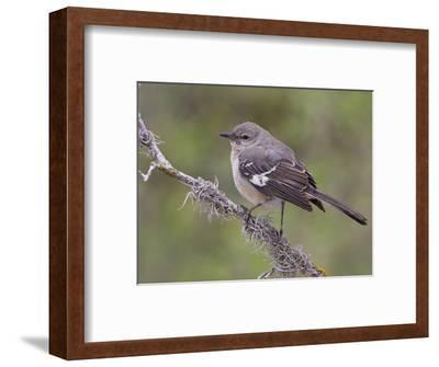 Northern Mockingbird (Mimus Polyglottos) Perched on a Branch, Texas, USA