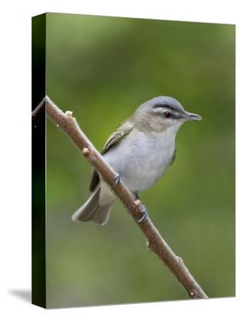 Red-Eyed Vireo (Vireo Olivaceus) Perched on a Branch, Ontario, Canada