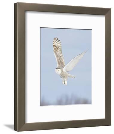 Snowy Owl (Bubo Scandiacus) Hunting for Prey, Ontario, Canada