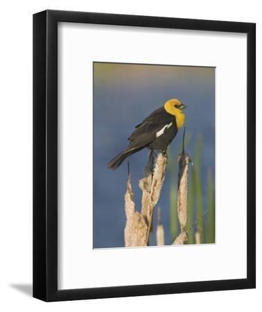 Yellow-Headed Blackbird (Xanthocephalus Xanthocephalus) Perched on a Cattail in Alberta, Canada