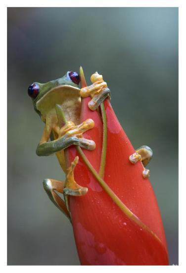 Gliding Leaf Frog on Heliconia, Costa Rica-Tim Fitzharris-Art Print
