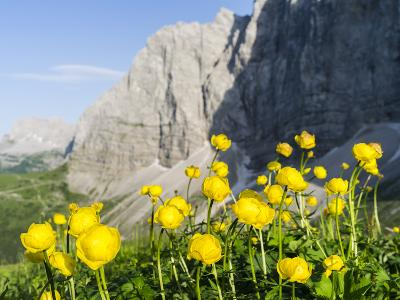 Globeflower, Karwendel Mountain Range, Austria-Martin Zwick-Photographic Print