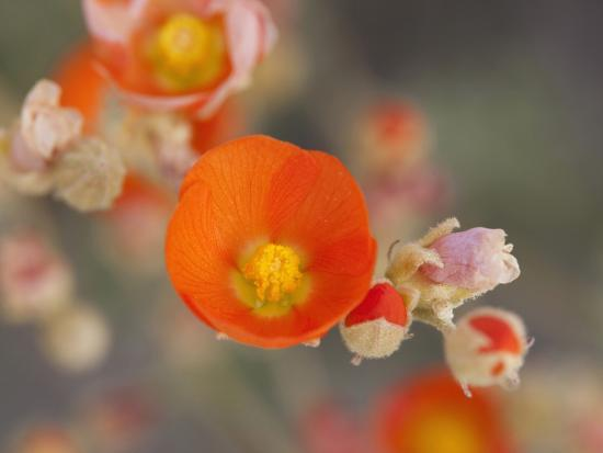 Globemallow or Apricot Mallow, Mojave National Preserve, California, Usa-Jamie & Judy Wild-Photographic Print