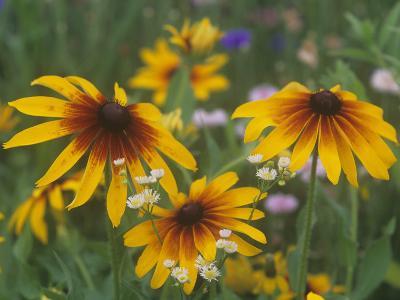 Gloriosa Daisy, Rudbeckia Gloriosa, Asteraceae, North America-Adam Jones-Photographic Print