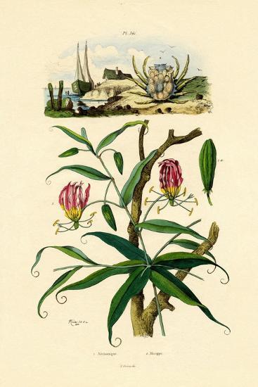 Gloriosa Lily, 1833-39--Giclee Print