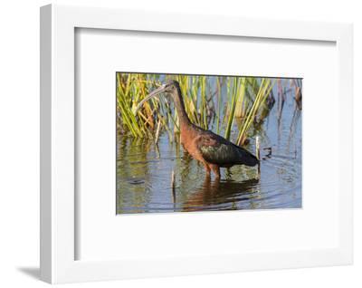 Glossy Ibis (Plegadis falcinellus) Viera Wetlands, Brevard County, Florida-Richard & Susan Day-Framed Photographic Print