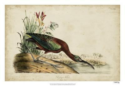 Glossy Ibis-John James Audubon-Giclee Print
