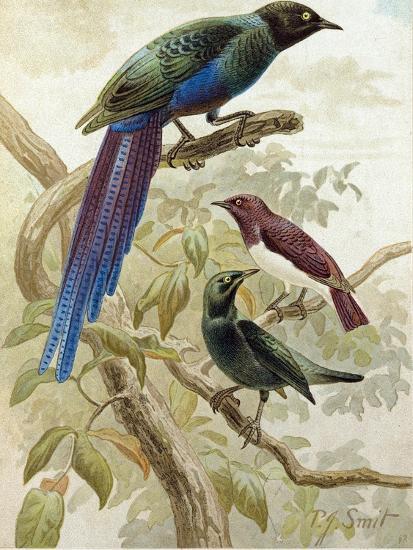 Glossy Starlings--Giclee Print