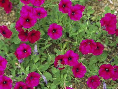https://imgc.artprintimages.com/img/print/glowing-magenta-petunias-in-bloom_u-l-p4o5up0.jpg?p=0