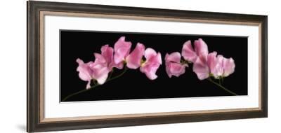 Glowing Sweet Peas-Cora Niele-Framed Photographic Print