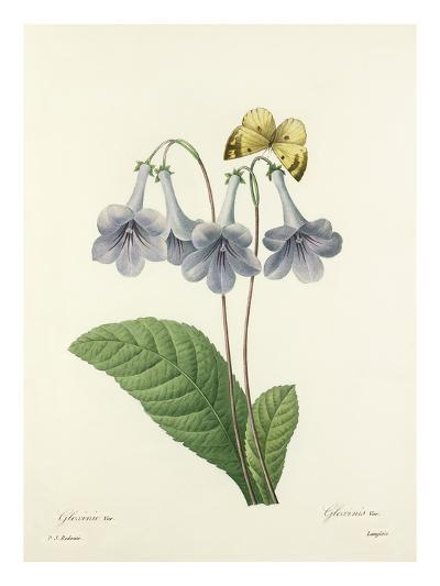 Gloxinie Var.: Gloxinis Var-Langlois-Giclee Print