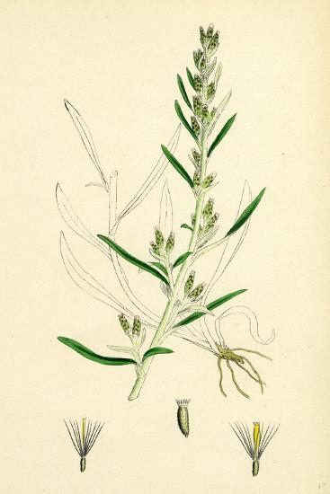 Gnaphalium Sylvaticum Upright Cudweed--Giclee Print