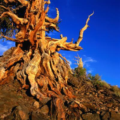 Gnarled Roots and Trunk of Bristlecone Pine, White Mountains National Park, USA-Wes Walker-Photographic Print