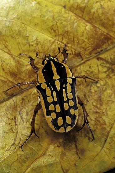 Gnathocera Impressa (Flower Beetle)-Paul Starosta-Photographic Print