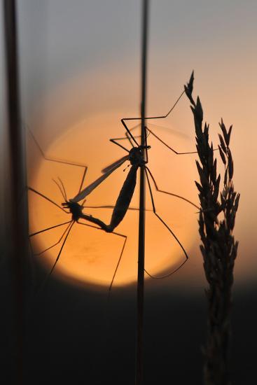 Gnats, Stalk, Mating, Silhouette, Sunrise-Harald Kroiss-Photographic Print