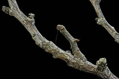 Gnophos Sp. (Annulet) - Caterpillar or Inchworm Camouflaged on Twig-Paul Starosta-Photographic Print