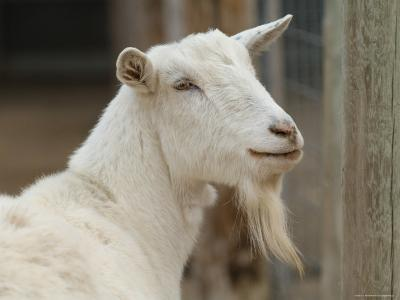 Goat at the Riverside Zoo-Joel Sartore-Photographic Print