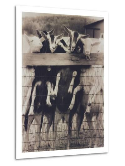 Goat Chorus Line-Theo Westenberger-Metal Print