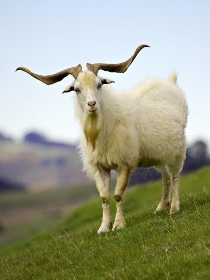 Goat, Taieri, near Dunedin, South Island, New Zealand-David Wall-Photographic Print