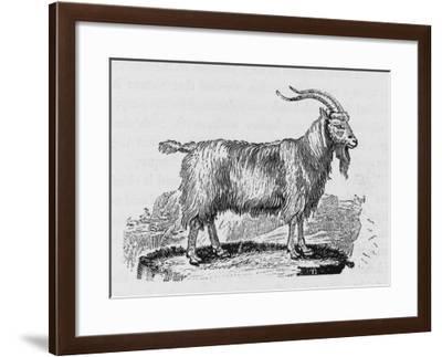 Goat--Framed Giclee Print
