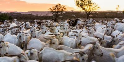 Goats in Andalucia, Spain, Europe-John Alexander-Photographic Print