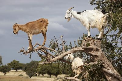 Goats Up Argan Tree, Near Essaouira, Morocco, North Africa, Africa-Stuart Black-Photographic Print