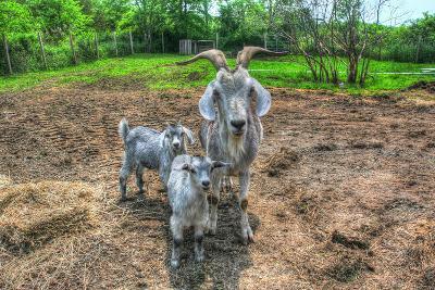 Goats-Robert Goldwitz-Photographic Print