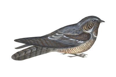 https://imgc.artprintimages.com/img/print/goatsucker-or-nightjar-caprimulgus-europaeus-birds_u-l-q135hs40.jpg?p=0