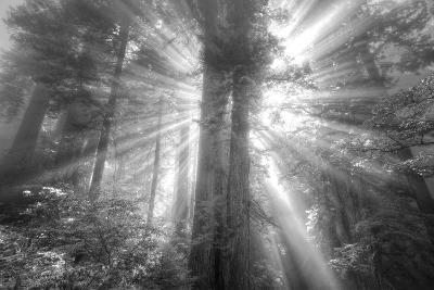 God Beams and The Redwoods (Black and White)-Vincent James-Photographic Print